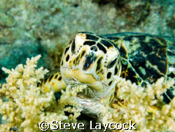 Hawksbill turtle, feeding on soft coral. The camouflage i... by Steve Laycock