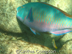 This Parrot fish photo was taken while on a snorkeling to... by Cinthia Compton