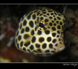 Cute looking and tiny Spotted Trunkfish.  by Brian Mayes