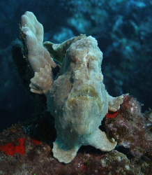 """Fish evolution"", this frog fish seems to have 2 feet and... by Ting Tsui"
