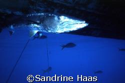 Spok! that's his name. a Baracuda that always hangs aroun... by Sandrine Haas