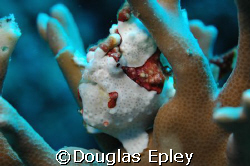 frogfish taken at tuluk maya, wakatobi dive resort, nikon... by Douglas Epley