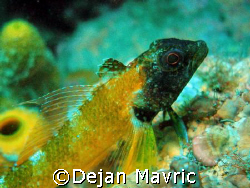 Tripterygion delaisi aka Black-faced blenny, 