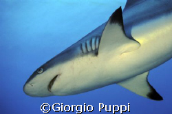Gray Shark - Sha' ab Rumi  by Giorgio Puppi