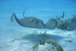 Southern Stingray, with housed (Ikelite) Nikon 8008S by Alison T. Stenger