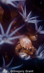 crab / f100 ans io5mm in sea and sea housing , twin strobes. by Gregory Grant