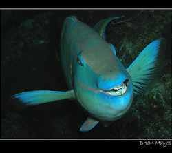 A happy Stoplight Parrotfish goes about his work. Taken i... by Brian Mayes