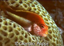 Ghiozzo  - Wakatobi by Giorgio Puppi