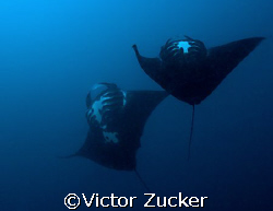 Manta play by Victor Zucker