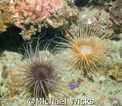 Image of 2 sea Anemones hangin' in the surge by Michael Wicks