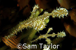 Pair of ornate ghost pipefish. Dinah's Beach, Milne bay P... by Sam Taylor