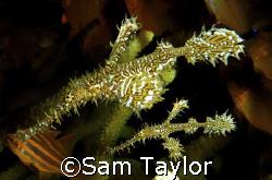 Pair of ornate ghost pipefish. Dinah's Beach, Milne bay P... by Sam Taylor