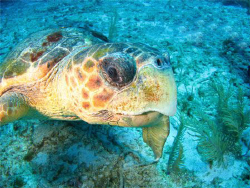 A very curious turtle that actually bumped me several tim... by Paul Holota