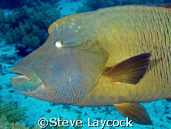 Napoleon Wrasse,  bit too close for a 28mm lens, but the ... by Steve Laycock