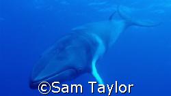Dwarf Minke Whale. Nikono D-70 with Sigma 14mm & natural ... by Sam Taylor