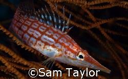 Longnose hawkfish. Kimbe bay PNG Nikon D-70 with 60mm lens. by Sam Taylor