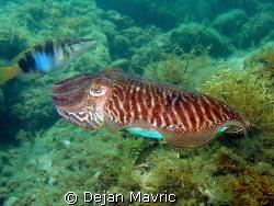 Cuttlefish passing by. Nice zebra pattern on her back. 1/... by Dejan Mavric