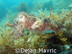 Cuttlefish. Started changing colours on her back. 2/3  O... by Dejan Mavric