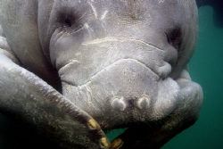 This manatee started to giggle after he heard my fish jok... by Ting Tsui