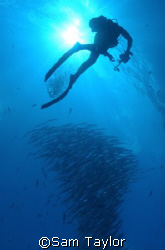 Diver photographing a barracuda school. Blue Corner Palau... by Sam Taylor
