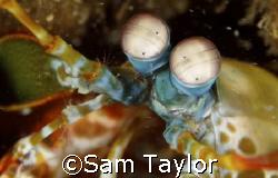 Mantis shrimp portrait. 105mm Nikon D-70. Secret location... by Sam Taylor