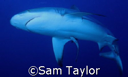 Silvertip shark. Miil channel yap on the incoming tide. N... by Sam Taylor