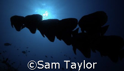 Batfish silhouette (did i spell that right?) by Sam Taylor