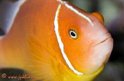 Anemonefish, Amphiprion peridareion.  Greta Barrier Ree... by João Paulo Krajewski