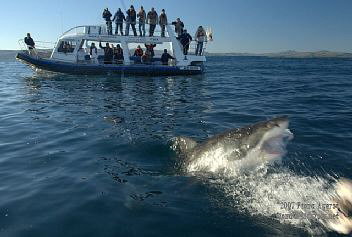 boat based great white shark viewing in Gansbaai RSA by Fiona Ayerst