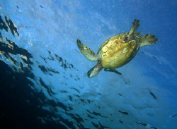 """Riding the Ripples"" Hawaiian Green Sea Turtle, I always ... by Mathew Cook"