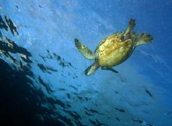 """Riding the Ripples"" Hawaiian Green Sea Turtle, I always ... by Mathew Cook"