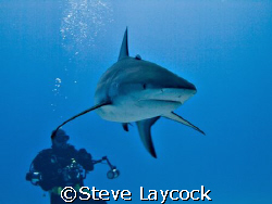 Caribbean reef shark , and photographer by Steve Laycock