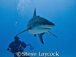 Caribbean reef shark , and photographer by Steve Laycock