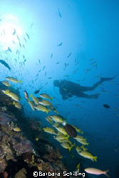Diver and snappers  along a drop off in the Maldives  by Barbara Schilling