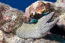 This gorgeous honeycombe moray posing for a good shot by Barbara Schilling