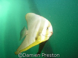 Playfull Batfish, 1 Mile Jetty Carnarvon Western Australi... by Damien Preston