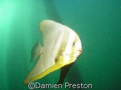 Playfull Batfish, 1 Mile Jetty Carnarvon Western Australi... by Damien Preston