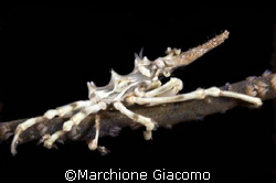 Skeleton crab: NikonF90x , lens 105 macro, two strobo