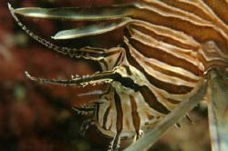 Lionfish, Bermuda. by David Heidemann