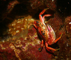 """Colorful Crab"". Photo taken on the roof of a swim-thru, ... by Mathew Cook"
