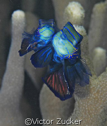 cheek to cheek taken in yap by Victor Zucker