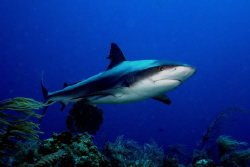 A reef shark making a pass. TT by Ting Tsui