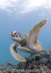 Turtle. Lowe isles. D200, 10.5mm. by Derek Haslam