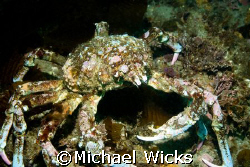 Sheeps Crab by Michael Wicks