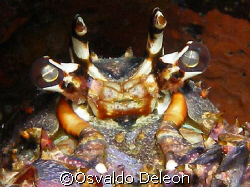 Caribbean Lobster eye. Olympus sp 350 by Osvaldo Deleon