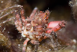 a Crab from my latest night dive. by Nicholas Samaras