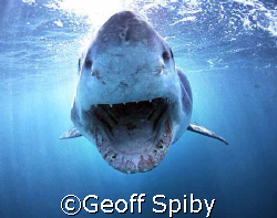 white shark incoming Gans Bay South Africa by Geoff Spiby