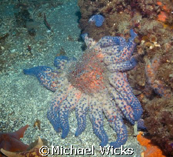 Sun Starfish by Michael Wicks