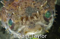 Porcupine Pufferfish. Nikon D-70,60mm. Secret Location nt... by Sam Taylor