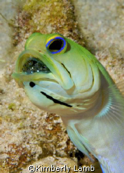 Male yellowhead jawfish with eggs in his mouth.   Nikon ... by Kimberly Lamb